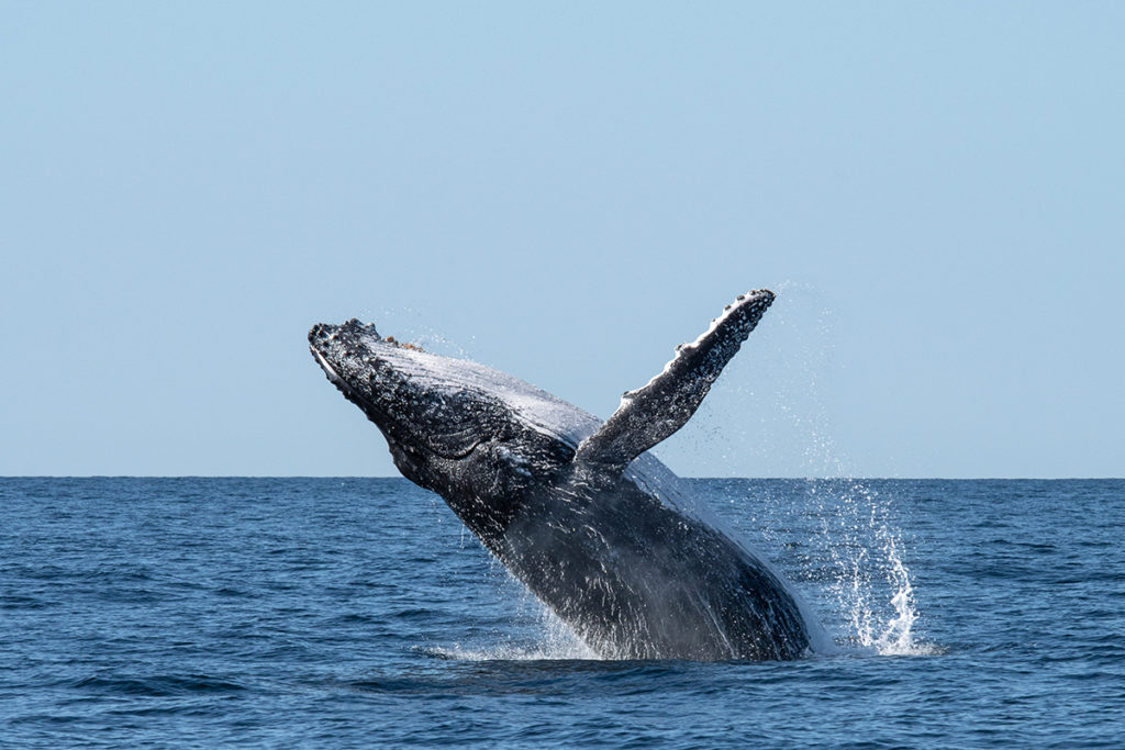 Humpback whale migration - whale breaching off Sydney
