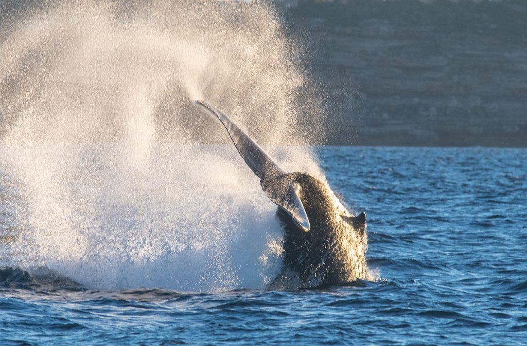 Humpback whale slapping its tail