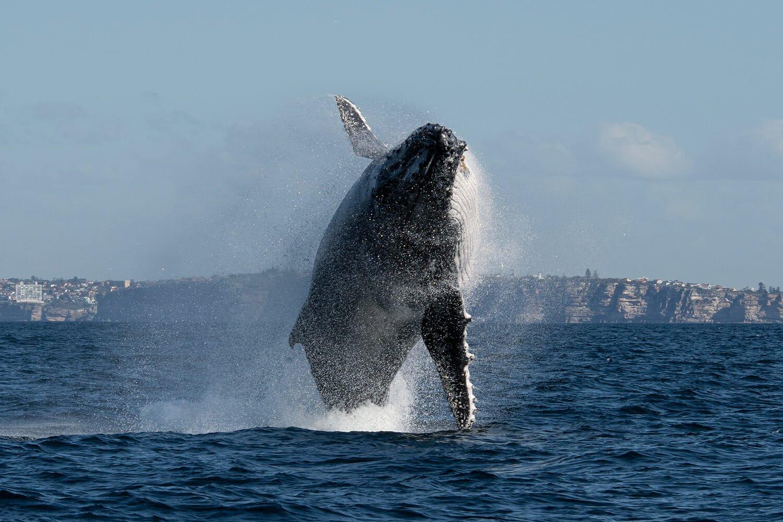 Humpback whale migration, Sydney