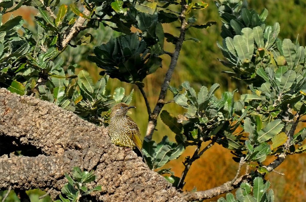 Little wattlebird on Palm Jungle trail