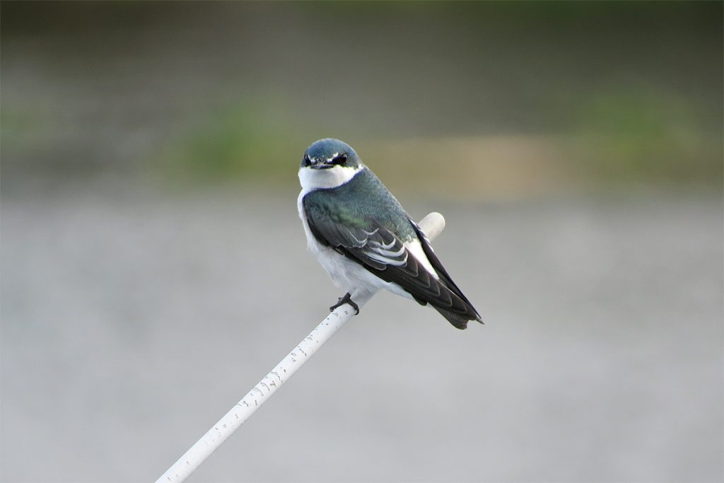 Mangrove swallow in Palo Verde