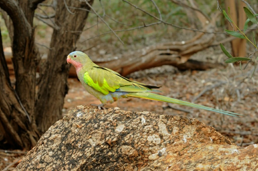 Princess parrot at the Desert Park in Alice Springs