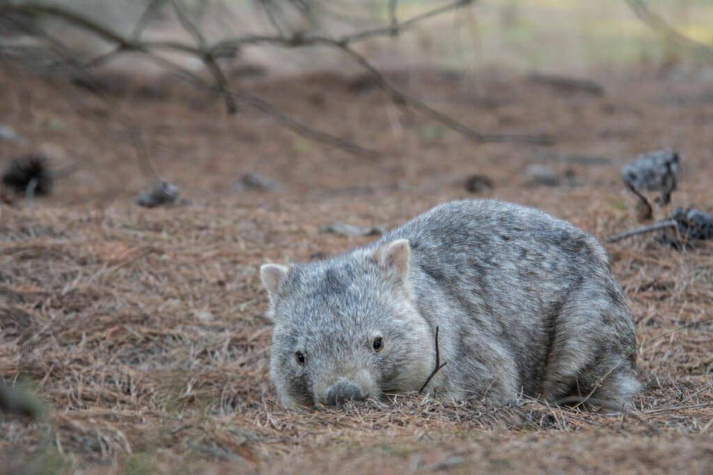 Wildlife in Sydney - Common Wombat