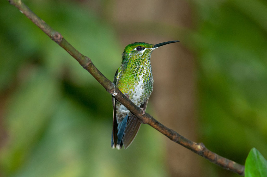 Green-crowned brilliant in Monteverde Cloud Forest Reserve