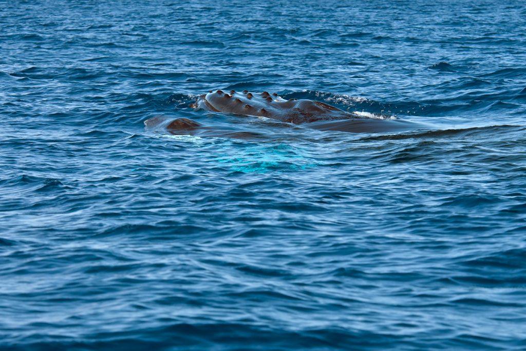 Humpback whales in Drake Bay