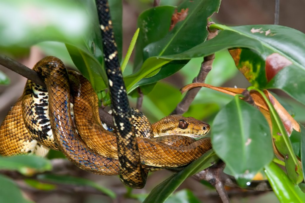 Mangrove Boa on Damas Island