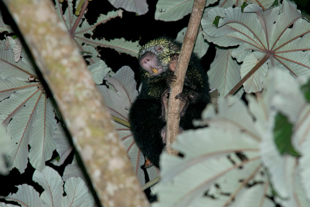 Monteverde wildlife - Mexican Porcupine