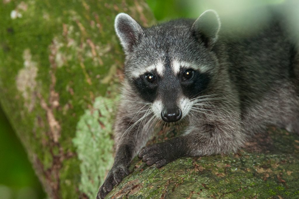 Raccoon in Manuel Antonio