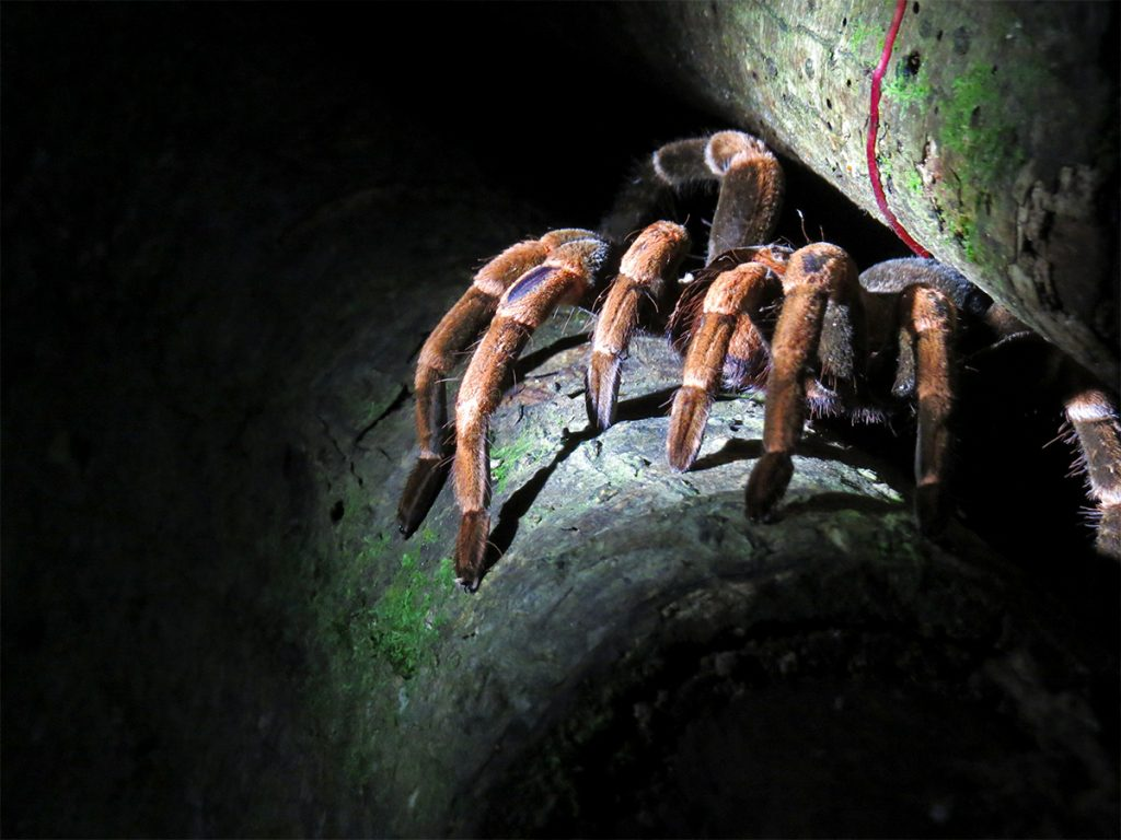 Tarantula at Monteverde cloud forest