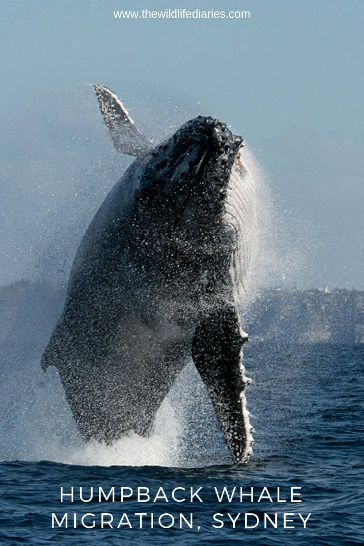 Humpback whale migration Sydney - the best of whale watching #whalewatchingsydney #whalesydney #humpbackwhale