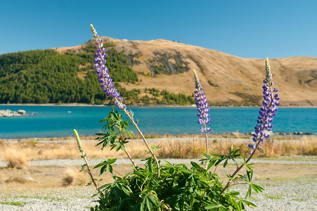 Wild flowers at lake Tekapo