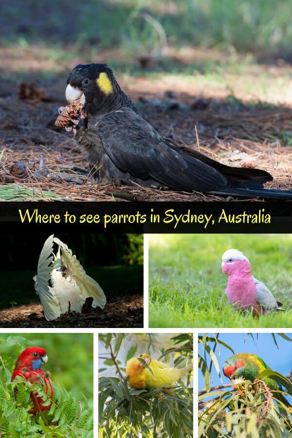Where to see parrots in Sydney #cockatoosydney #parrotsydney #blackcockatoo #whitecockatoo