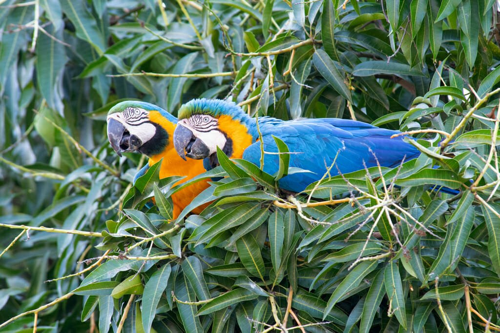 Blue and yellow macaws in the pantanal