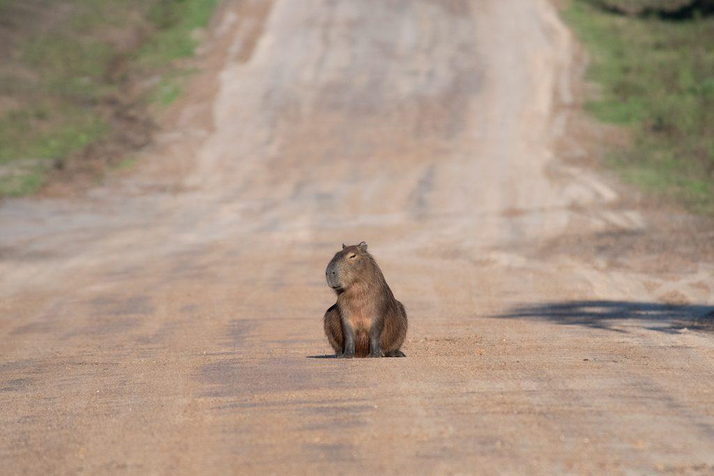 Capybara El Plmar
