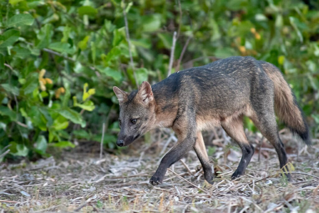 Pantanal Wildlife - Crab-eating fox