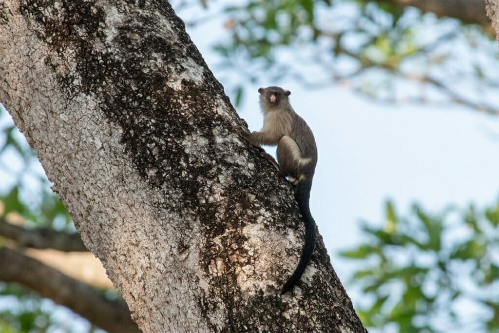Wildlife of the Pantanal - Black-tailed marmoset