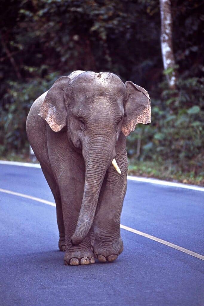 young asian elephant in khao yai