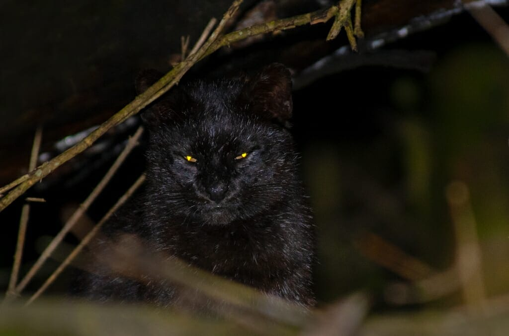 Black Geoffroy's cat in Argentina