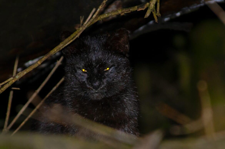 Black Geoffroy's cat in Argentina