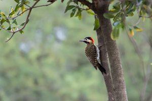 Green-barred Woodpecker El Palmar