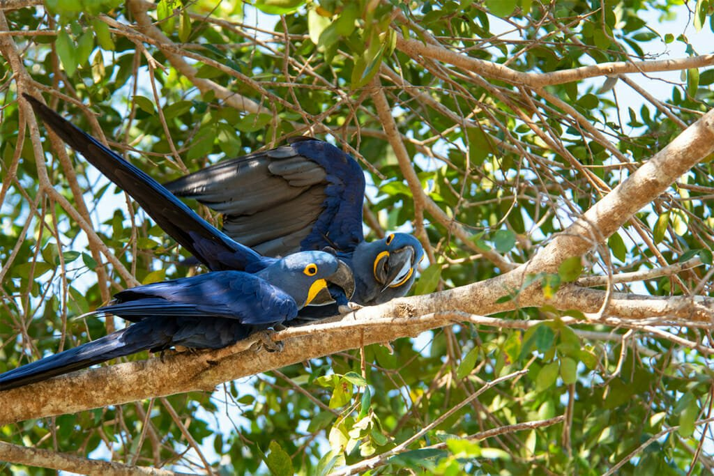 Pair of Hyacinth macaws at Hotel Pantanal Norte
