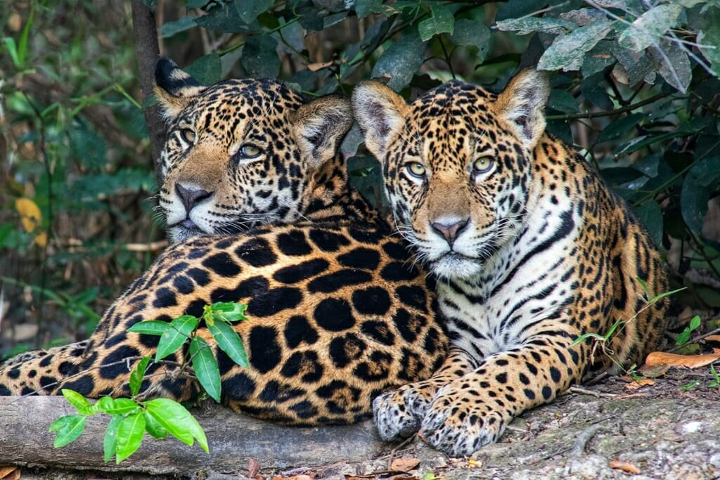 Pantanal jaguars - two young brothers
