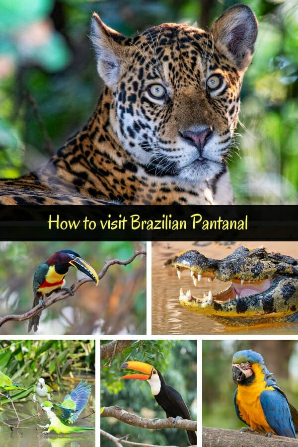 On the trail of the jaguars in the Pantanal Brazil #pantanalwildlife #wildbrazil #animals
