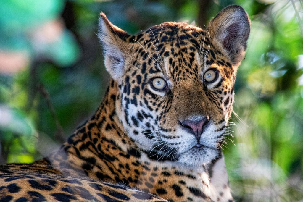 Wild cats lower classification - Jaguar resting on the bank of Cuiaba river in Porto Jofre, Brazil