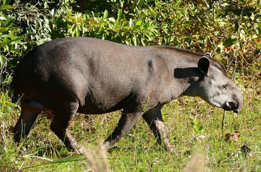 Brazilian Tapir at Pouso Alegre, Pantanal Image © Bernard DUPONT / Wikipedia