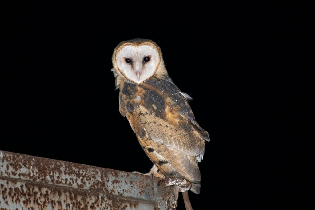 Barn owl in the Pantanal