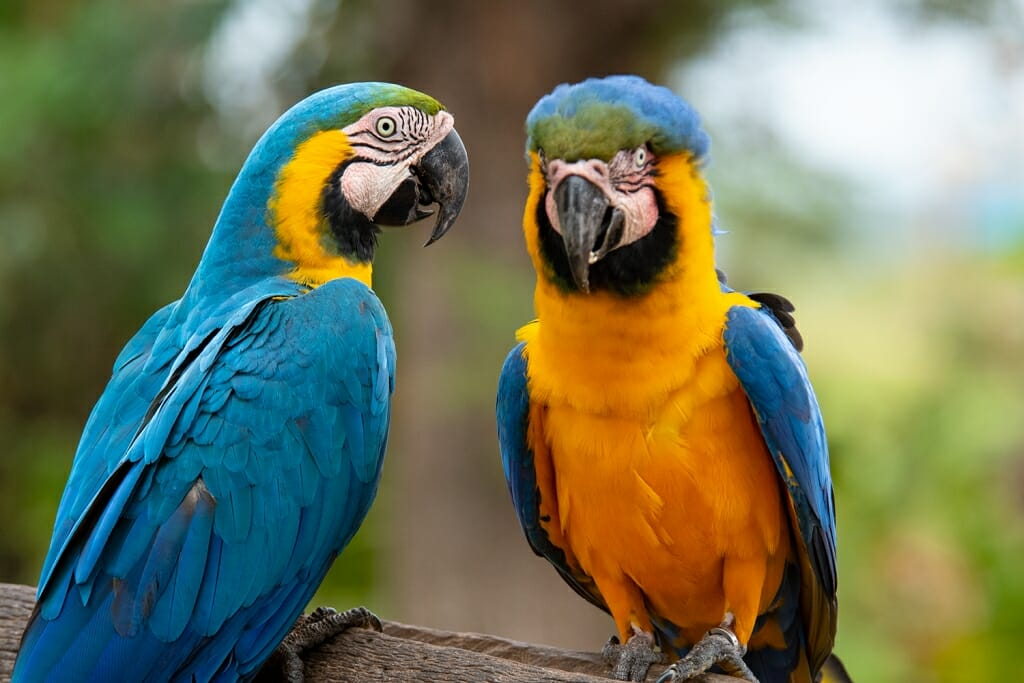 Brazilian animals - Blue and Yellow macaw