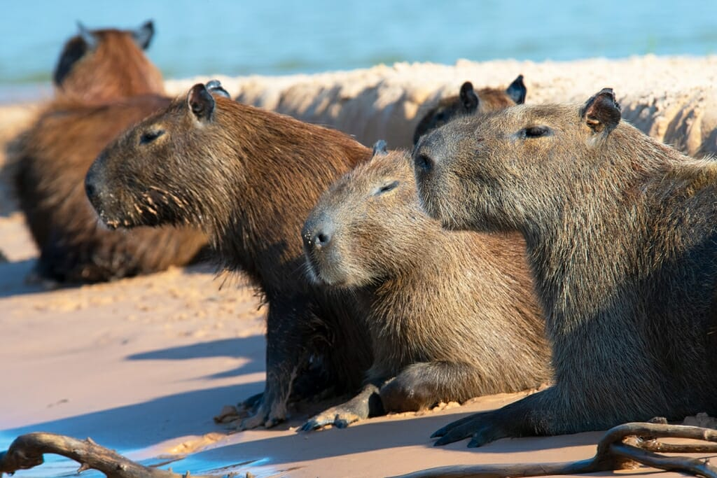 Brazilian wildlife - Capybaras in the northern Pantanal