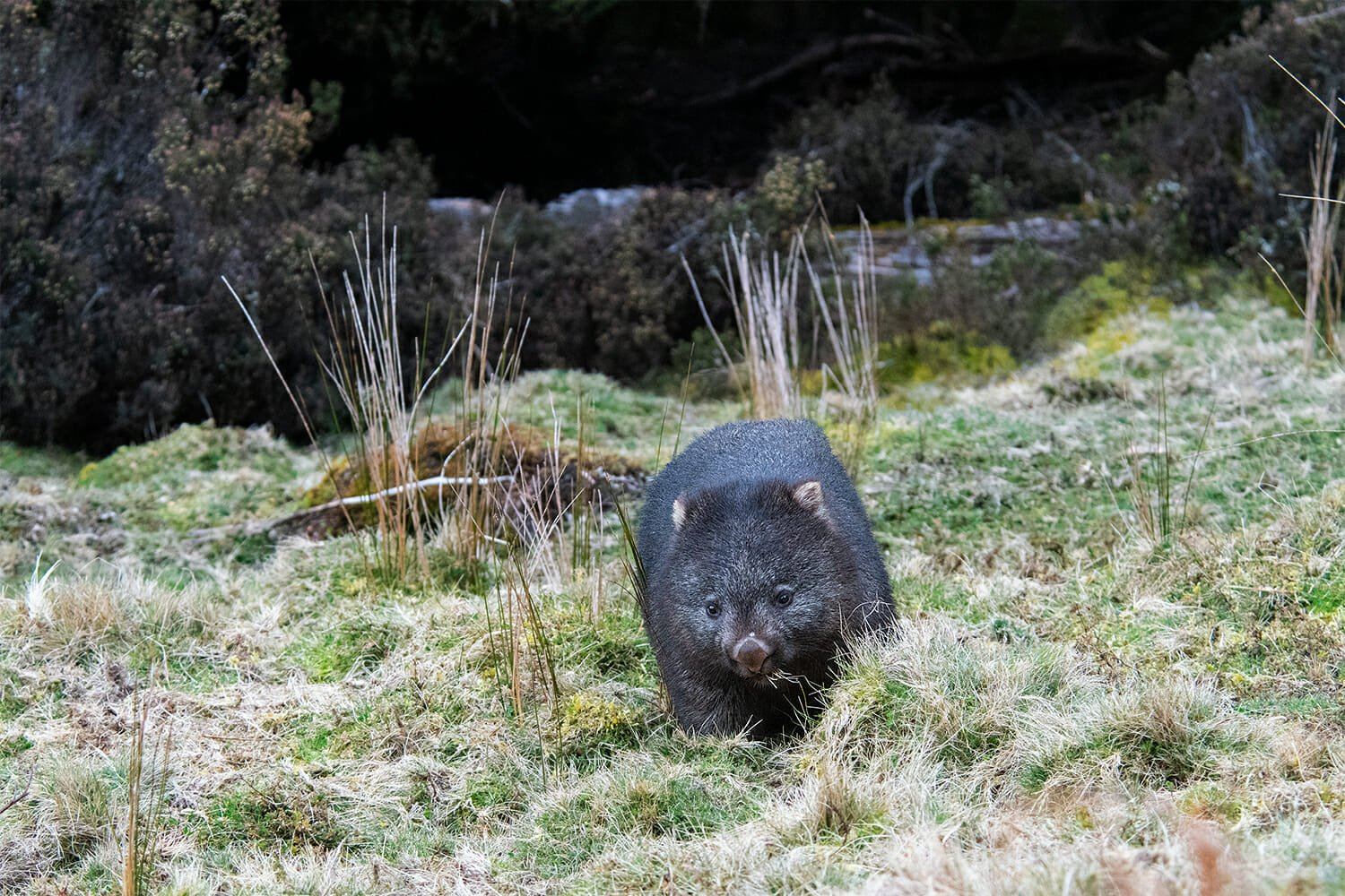 Common wombat at Cradle Mountain Tasmania