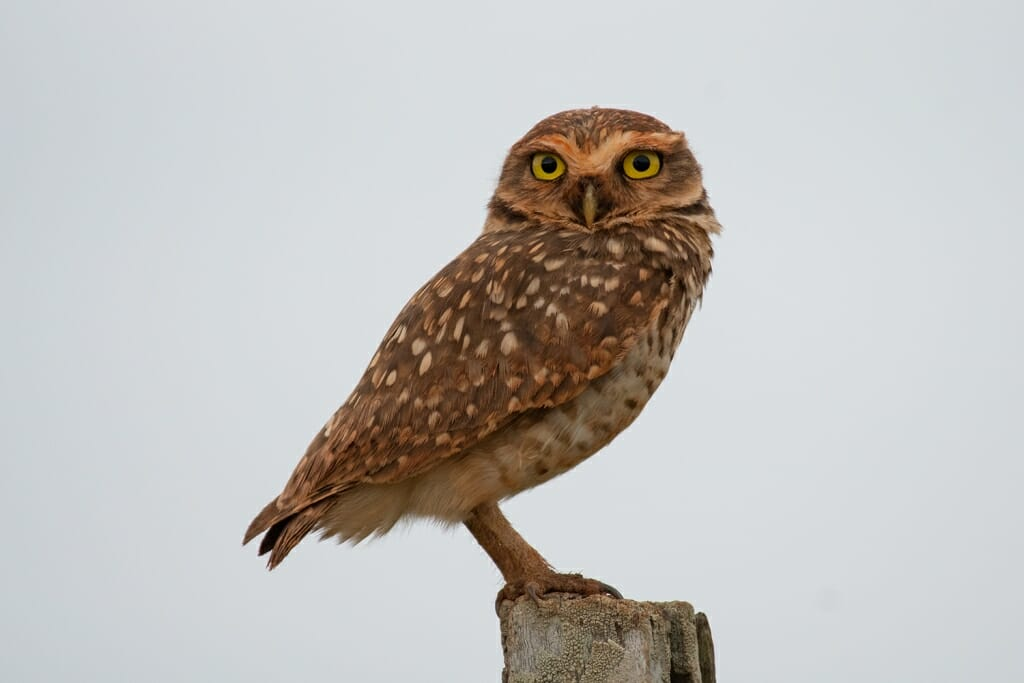 Burrowing owl in the southern Pantanal