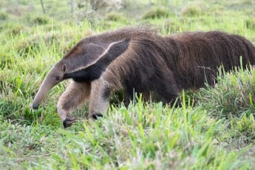 Brazilian animals - giant anteater