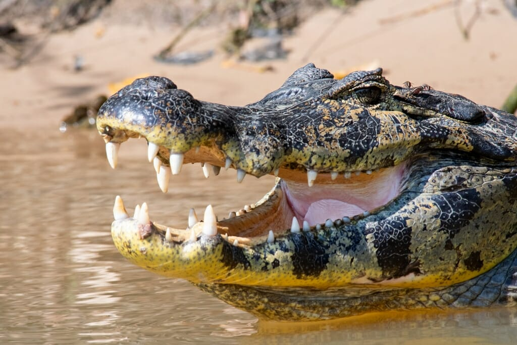 Wildlife in Brazil - Yacare caiman