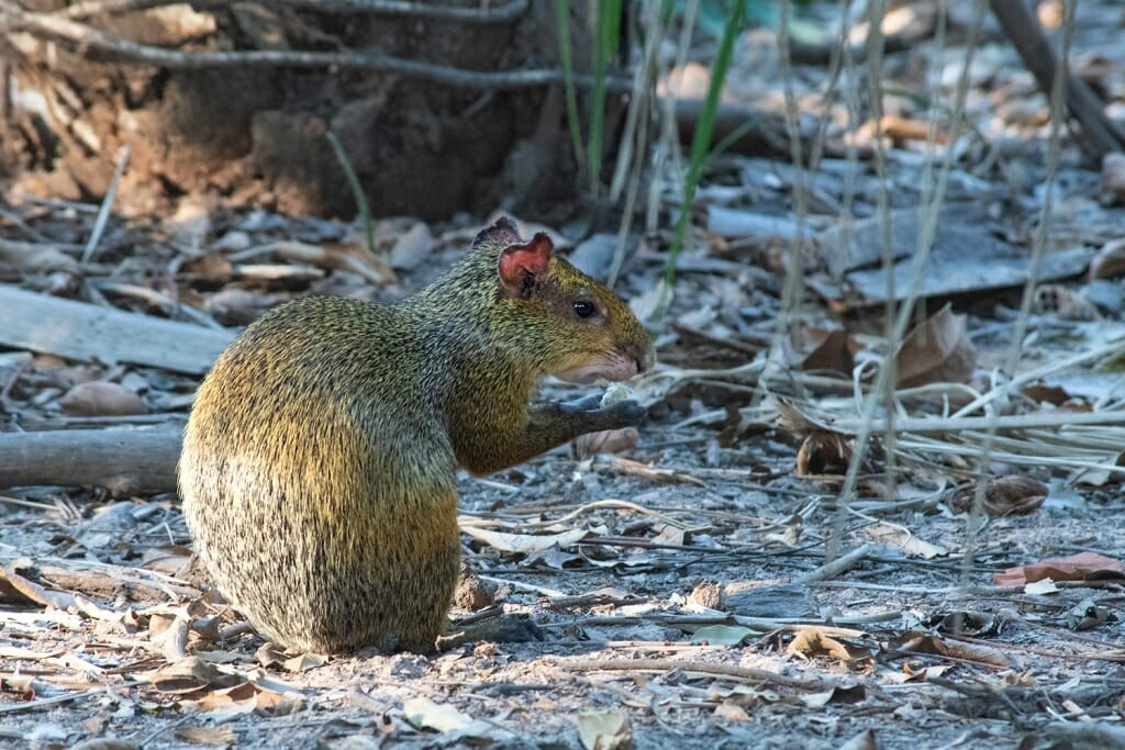 Animals of Brazil - Azara's agouti in the northern Pantanal