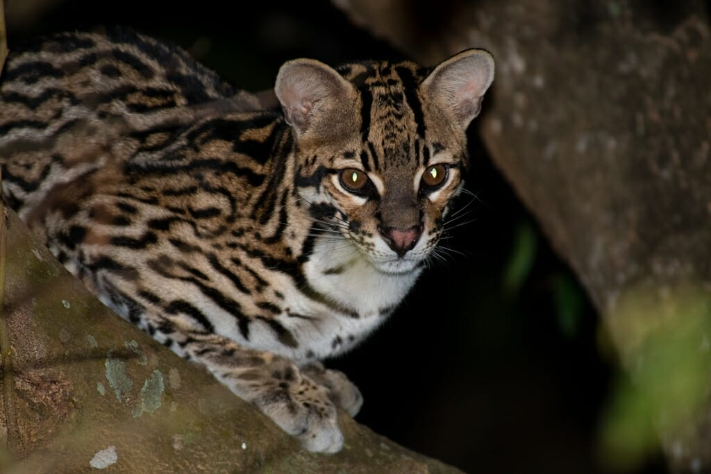 female ocelot in the southern Pantanal, Brazil