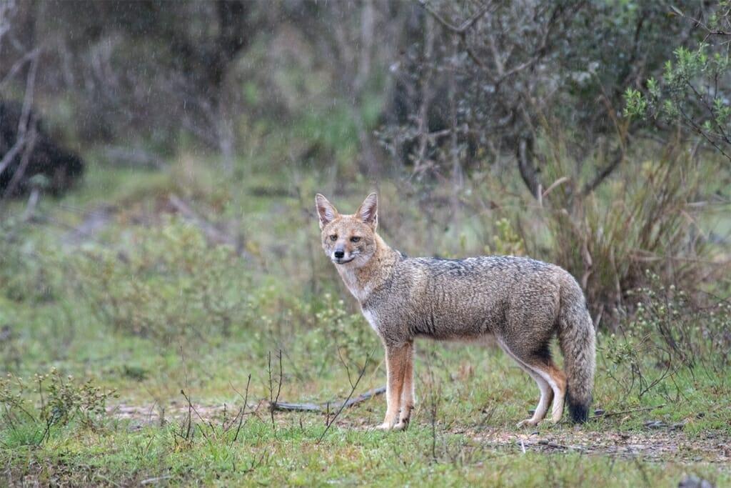 Grey fox in the rain