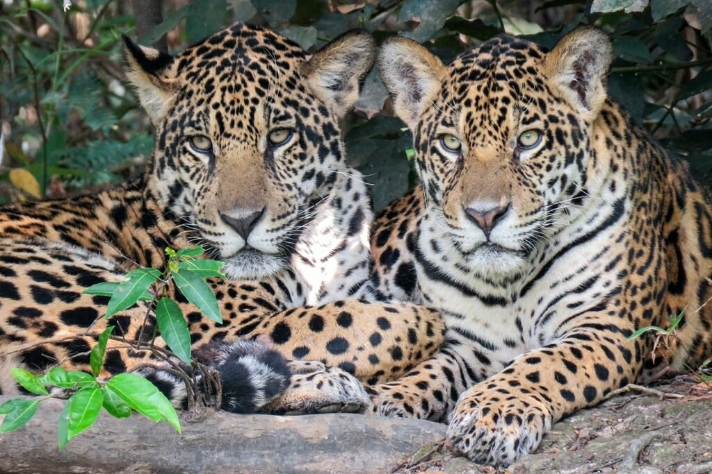 Brazil animals - jaguar