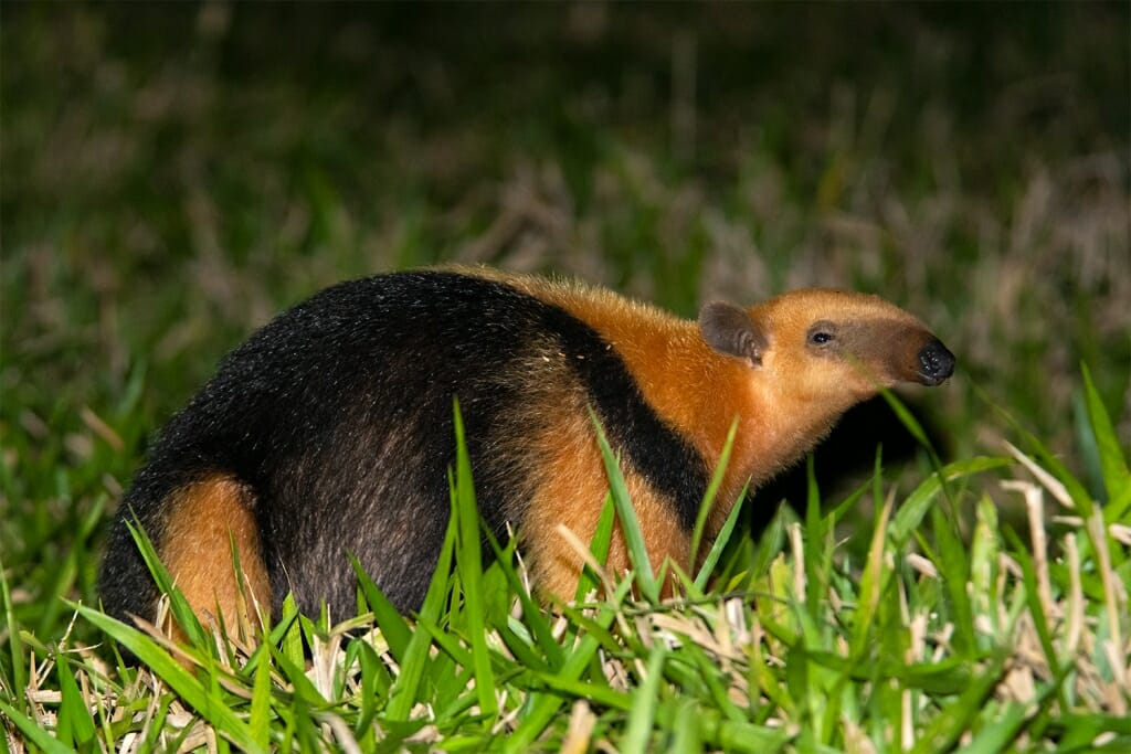 Brazilian wildlife - Lesser anteater in the Pantanal