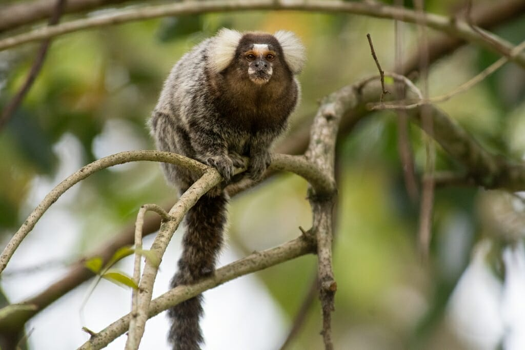 Common marmoset in Paraty