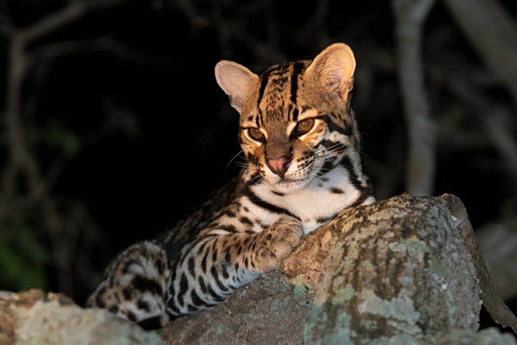 ocelot relaxing on a tree branch in the pantanal