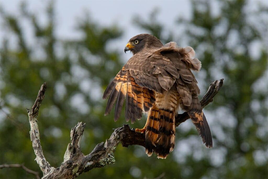 Roadside hawk, El Palmar, Entre Rios