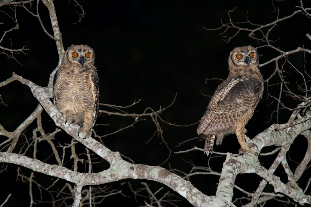 Short-eared owls in the Pantanal