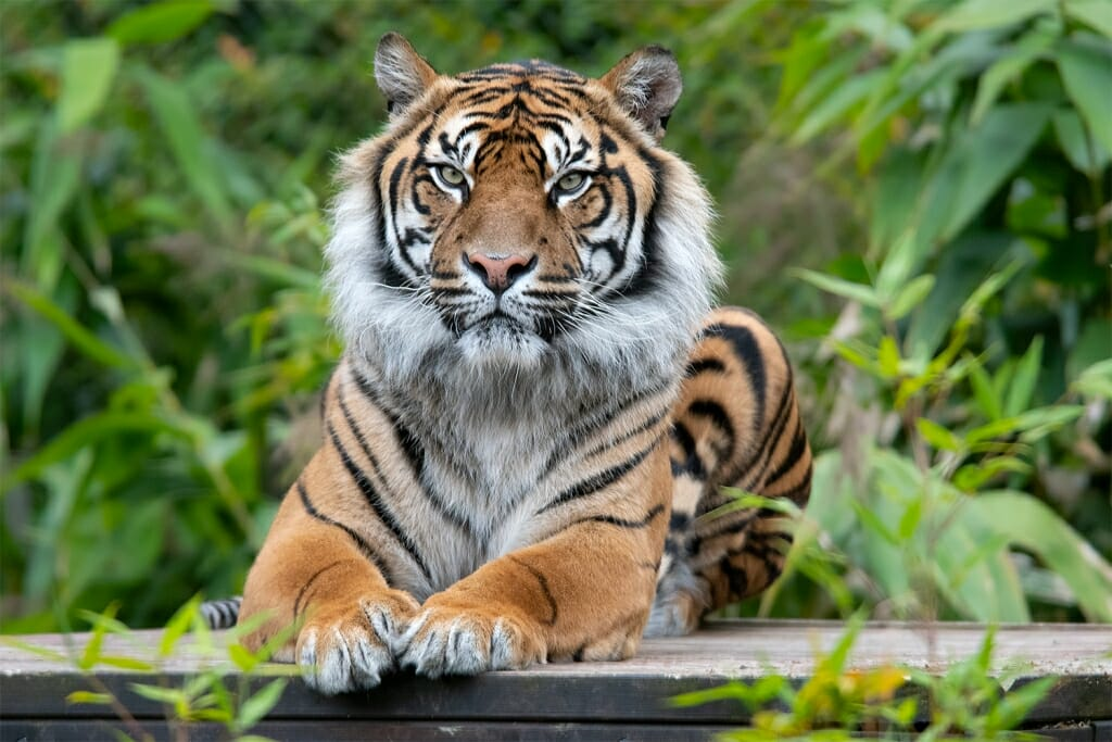 Wildlife Tourism - Sumatran tiger at Taronga Zoo Sydney