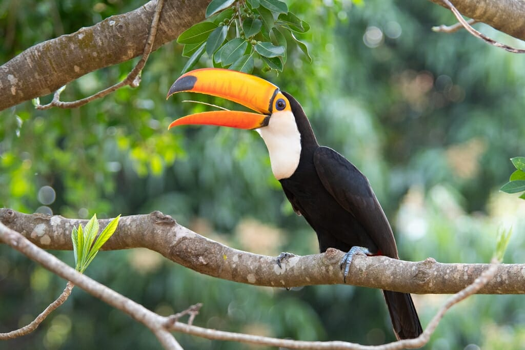 Toco toucan in Brazil