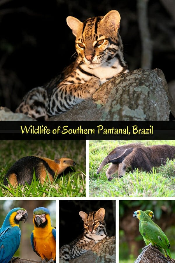 Ocelot and other wildlife of Southern Pantanal at Fazenda San Francisco, Brazil #ocelot #giantanteater #yellowarmadillo
