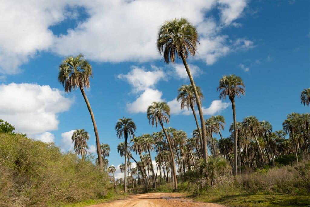 Yatay Palm trees in El Palmar, Entre Rios