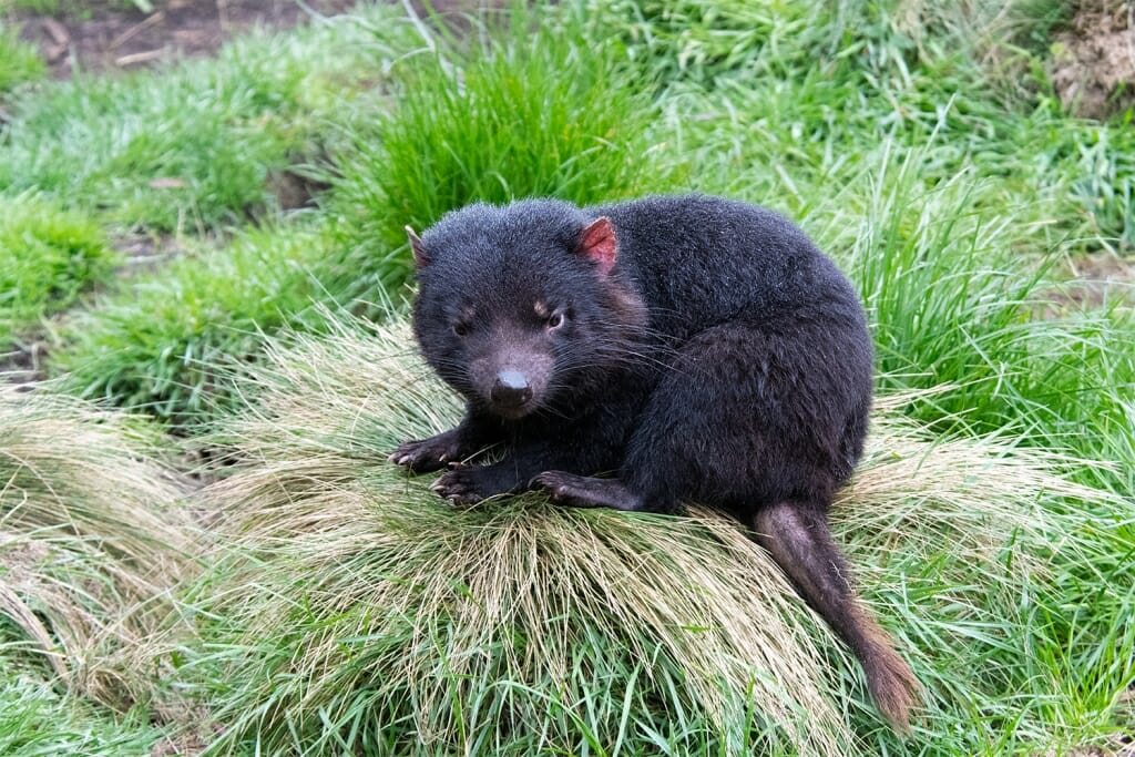 Young Tasmanian devil at Davils at Cradle Tasmania